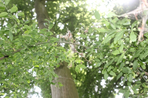 4 yponomeuta euonymus veneux 14 juin 2017 027 (7).jpg