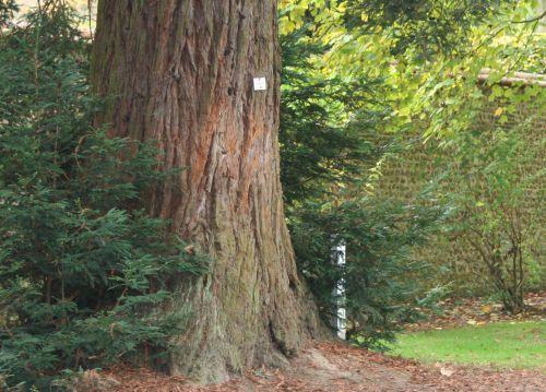 Sequoia sempervirens 3 nov 003.jpg