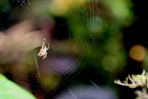 araignée 2 nov 006.jpg