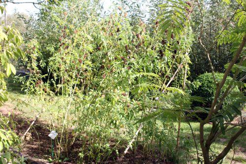 a glycyrrhiza pallidiflora marnay 21 sept 2013 074.jpg