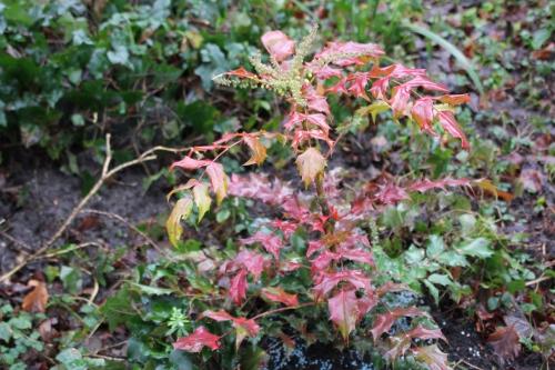 11 mahonia hivernant veneux 29 janv 2015 015.jpg