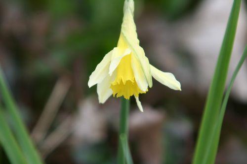 2 narcissus pseudonarcissus 2 mars 003.jpg