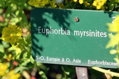 euphorbia myrsinites 1 paris 21 juil 2012 254.jpg
