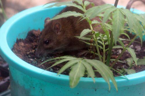 8 rat 27 avril 2012 044.jpg