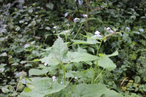 4 lunaria rediviva veneux 7 juin 2016 003.jpg