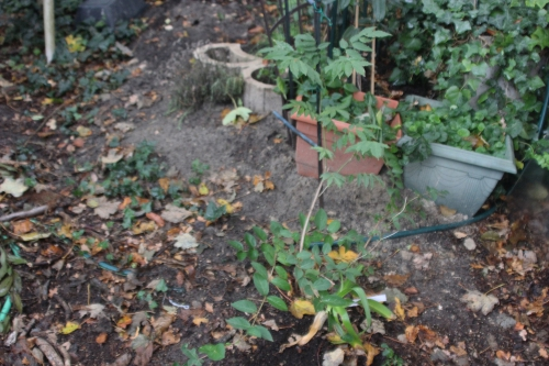 2 wisteria veneux 16 oct 2015 001.jpg