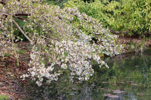 6 prunus yedoensis ivensii gb 30 mars 2014 054.jpg
