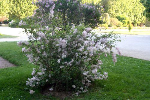 syringa microphylla paris 27 avril 062.jpg