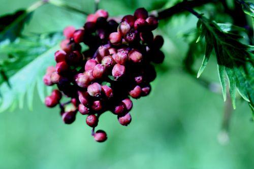 plum vir fruits romi22 juin 2010 056.jpg
