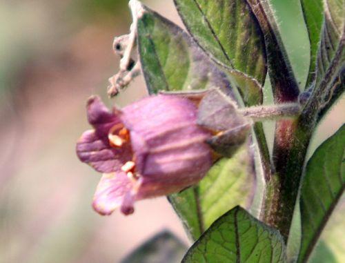 belladone fl romi 8 mai 081.jpg