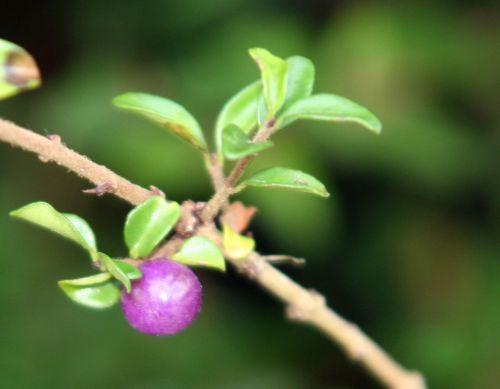 lonicera fruits romi 6 nov 008.jpg
