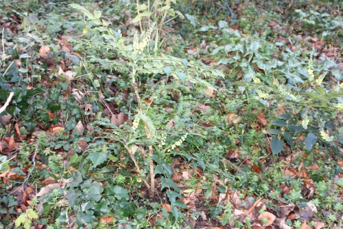 2 mahonia hivernant veneux 4 janv 2016 011.jpg