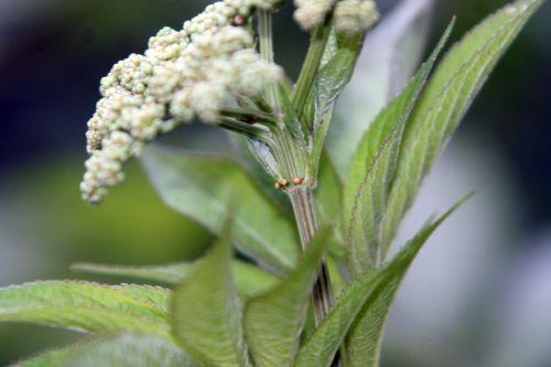 chinensis corymbe romi 24 juil 114.jpg