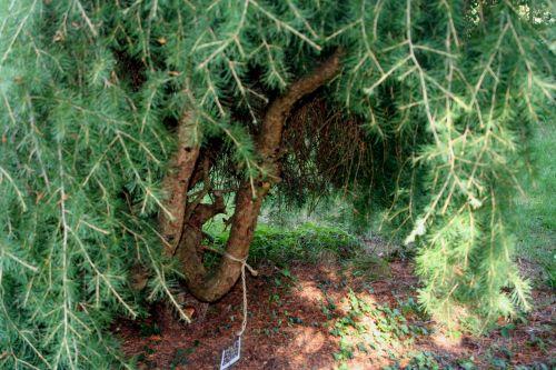 cedrus entrée arbofolia 9 oct 2010 093.jpg
