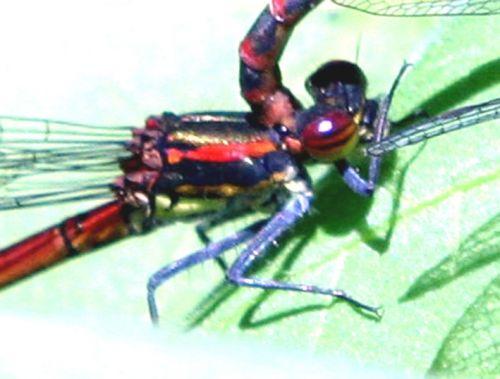 pyrrhosoma thorax romi 21 mai 037.jpg