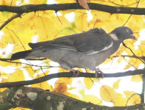 3 pigeon ramier rec veneux 23 nov 2014 012.jpg