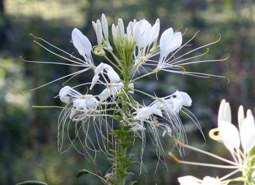 cléome fleurs 18 juil 2010 062.jpg