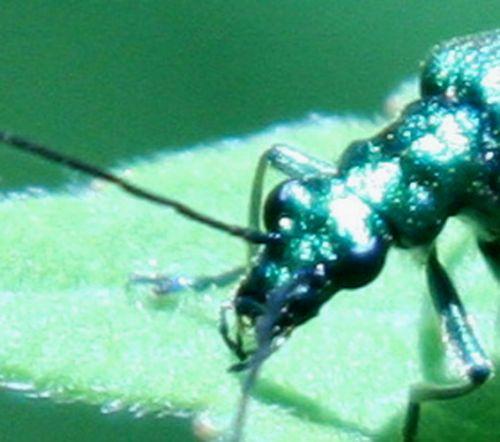 oedemera nobilis tête romi 4 juin 074.jpg