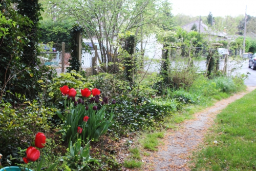 1 tulipes veneux 23 avril 2016 003.jpg