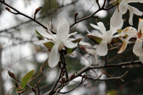 2 magnolia loeb spring snow gb 9 avril 2012.jpg