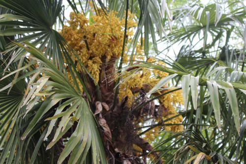 8 trachycarpus fortunei marnay 8 mai 2014 019 (4).jpg