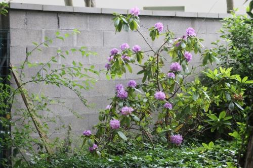 1 rhodo catawb veneux 12 juin 2016 001.jpg