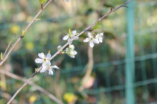 2 prunier crimson glo 29 fev 2016 008.jpg