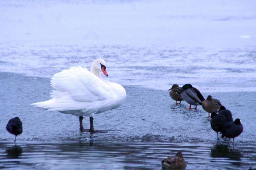 oiseaux cygne 4 foulques neige 21 dec 007.jpg
