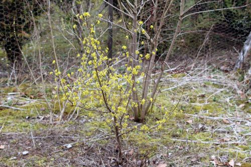 1 cornus jolico romi 11 mars 2012 005.jpg
