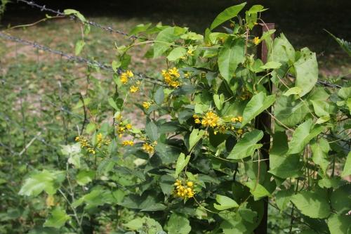 20 lysimachia vulgaris romi 13 juil 2015 016.jpg