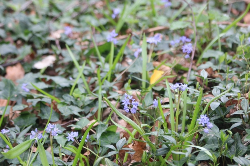4 scilla bifolia IMG_2774.jpg