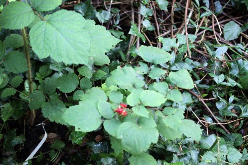 g rubus phoenico veneux 2 août 2014 004 (9).jpg