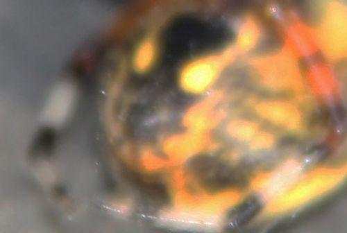 6 araneus marmoreus pyramidatus cul romi 26 sept 2014 004 (3).jpg