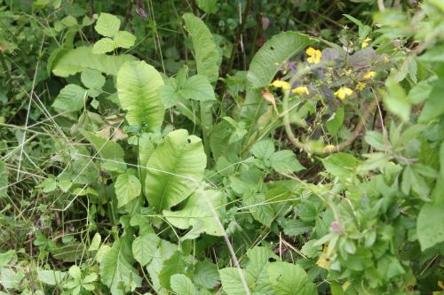 2 inula helenium romilly 16 juil 2012 301.jpg