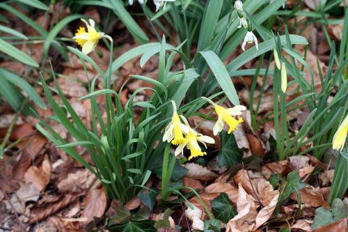 jonquilles veneux 7 mars 022.jpg