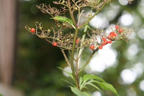 chinensis corymbe veneux 19 oct 2010 003.jpg