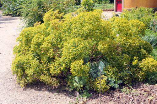 euphorbia myrsinites 2 paris 21 juil 2012 253.jpg