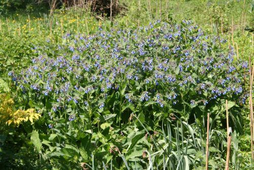 consoude bleue romi 2 mai 004.jpg
