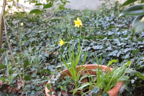 1 narcisse mini veneux 16 fev 2016 006.jpg