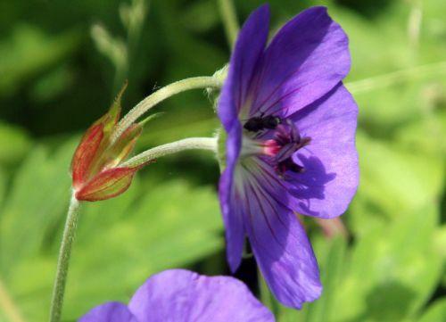 6 geranium orion rec romi 17 juin 2012 110 (3).jpg
