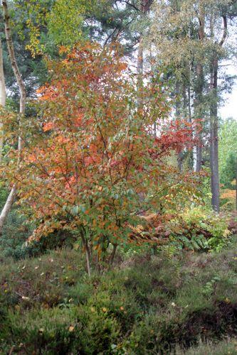 stewartia rostrata 1 gb 21 oct 2012 267 (8).jpg