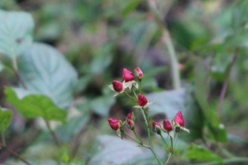 rose fraise des bois 2 romi 4 nov 2012 054.jpg