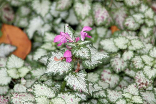 lamium maculatum paris 1 dec 2013 073 (2).jpg