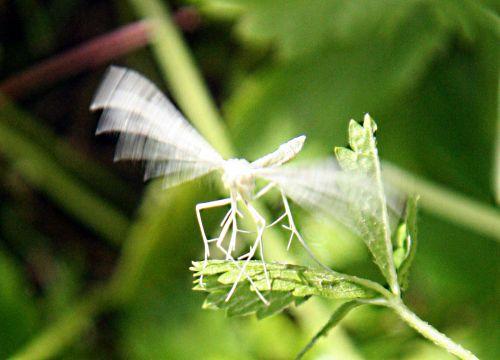 papillon dentelle envol 13 juin p 029.jpg