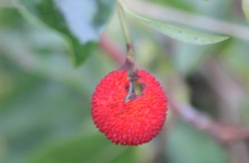 arbutus andrachnoides fruit veneux 14 nov 2016 020 (5).jpg