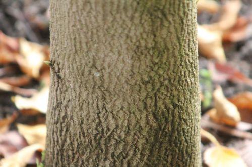 stewartia sinensis 8 gb 21 oct 2012 266.jpg