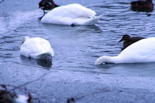 oiseaux cygnes pêchent neige 21 dec 008.jpg