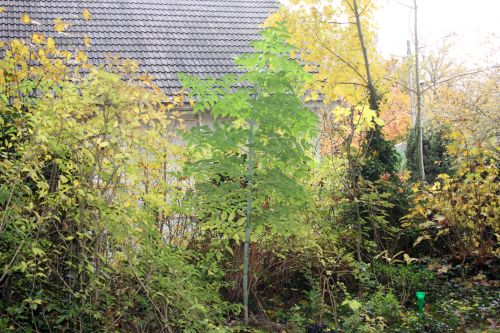 1 dahlia arborea veneux 11 nov 2012 001.jpg