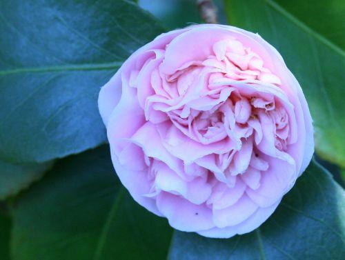 camellia 20 mars 003.jpg