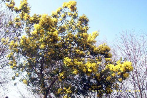 6 acacia dea yves DSCI1367.jpg